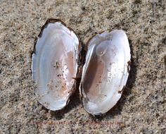 Mussel Shells Mussels, Shells, Fairy, Wood, Shelled, Woodwind Instrument, Timber Wood, Trees, Seashells