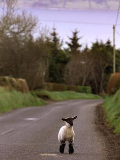A Spring Lamb Walks in the Scenic Glens of Antrim in Cushendall, Northern Ireland Photographic Print