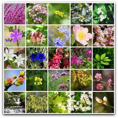 61 Meilleures Images Du Tableau Fleurs De Bach Bach Flowers