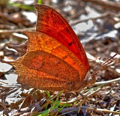 Goatweed Leafwing ~ Red and orange in nature.