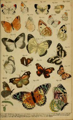 Lepidoptera illustrations taken from 'Die Naturgeschichte in Getreuen Abbildungen und mit Ausführlicher Beschreibung Derselben' by Anton Benedict Reichenbach. Published 1838 by E. Eisenach. NCSU Libraries archive.org