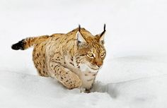 Hunter in the snow. #cat #snow #hunting  Get your Quality, Double Opt-In, Surveyed, Responsive Buyer's Leads Today!  http://ibourl.com/1ohd