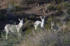Courtesy: Marjorie Farabee, Wild Burro Protection League, Texas (USA)