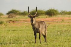 Waterbuck, Zebula, South Africa Life Is Tough, Wild Life, South Africa, Animales, Wildlife Nature