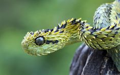 Atheris hispida, the rough-scaled bush viper, is a... -