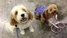 Pet Expo Singapore with Jet Cavoodle and GumGum Toy Poodle via myoodle.com
