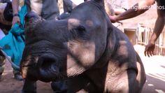 Un equipo de veterinarios salvó la vida de un rinoceronte 410 kg mediante la realización de un...