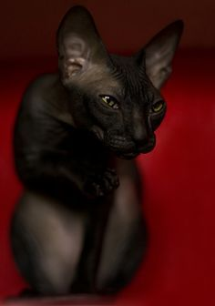 Someone from Alberta is cheating cat lovers by selling them shaved kittens. These shaved kittens were sold in the market as the hairless Sphynx cats. I Love Cats, Crazy Cats, Cool Cats, Beautiful Cats, Animals Beautiful, Cute Animals, Hairless Dog, Sphinx Cat, Unique Cats