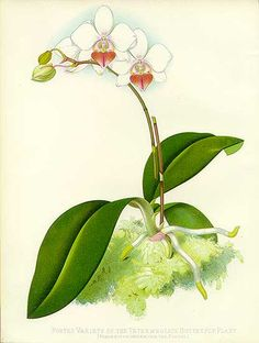 Intermediate phalaenopsis by Sir Joseph Paxton
