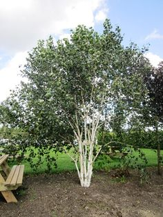 Small multi-seemed tree, light canopy and attractive bark. Good for feature plant Garden Trees, Trees To Plant, White Bark Trees, Short Trees, Betula Pendula, Baumgarten, Specimen Trees, Deciduous Trees, Types Of Soil