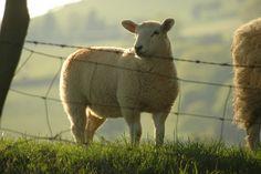 Lamb - 1 | Flickr  roger davies