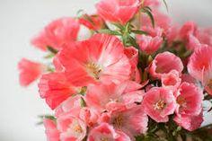 Resultado de imagen de flor godetia