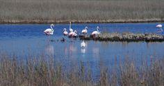 Le flamant rose, à l'état sauvage, emblême de la Camargue Flamingo, Names, Painting, Animals, Greater Flamingo, Tourism, Places, Landscape, Flamingo Bird