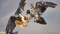 photo of bearded vulture adult juvenile fighting at giants castle drakensberg - lammergeier