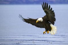 Photo of an adult bald eagle, fishing by swooping down near the shoreline to catch fish.