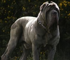 Mastino Napoletano. The coolest dog. Want. If I only had the space, I would have one.