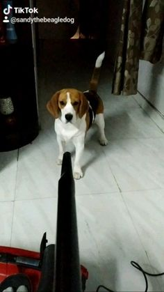 Beagle Dog: Get to know about the life style of a Beagle Dog. How they behave, what they eat, best dog clinics around the world and dog rescue stories. Cute Beagles, Cute Funny Dogs, Cute Funny Animals, Cute Baby Animals, Beagle Dog Breed, Beagle Puppy, Cute Dogs And Puppies, Baby Dogs, Funny Animal Memes