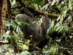"""What You Can see  Costa Rica, a representative animal of the country """"Sloths """""""