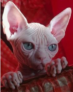 New Photos cat breeds sphynx Concepts Cats and kittens along with major the ears may become the most lovable pets inside the world. I Love Cats, Crazy Cats, Cool Cats, Cute Kittens, Cats And Kittens, Sphynx Gato, Hairless Cats, Baby Animals, Cute Animals