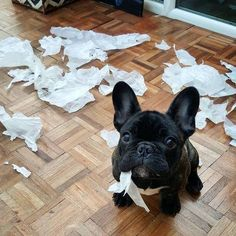 """""""How can you be so sure it was me who did it?"""",  naughty French Bulldog Puppy"""
