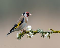 """Goldfinch on Sloe Blossom II"" by Dean Mason, via 500px."