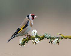 Goldfinch on Sloe Blossom II by Dean Mason, via 500px