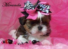 Beautiful AKC Female Shih Tzu Puppies