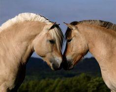 De ijzersterke fjord - my favorite horse!