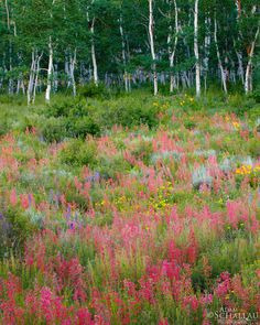 The summer wildflower season in full bloom near Crested Butte, Colorado.