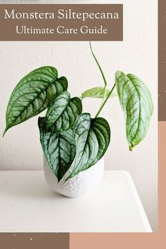 Here's a blueprint for your green thumb. Learn how to grow and care for monsterasiltepecana - one of the most popular house plants!