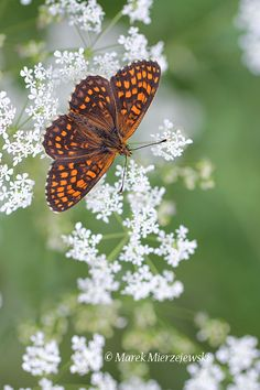 ~~Heath Fritillary (Melitaea athalia) Butterfly by Marek Mierzejewski www.butterfly-photos.org~~