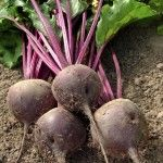 Beets (Beta vulgaris) are cool-season vegetables with edible leaves and roots, is also called beetroot in some regions. Roasting Beets In Oven, Cooking Beets In Oven, Oven Roast, Cooking Fish, Cooking Corn, Root Vegetables, Growing Vegetables, Balsamic Vinegar Recipes, Mousse