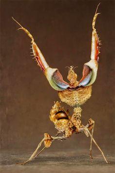 Idolomantis Diabolica - Louva Deus Rei - Giant Devil's Flower Mantis São nativos da Etiópia, Quênia, Malawi, Somália, Tanzânia e Uganda.  Suas belas cores podem variar entre vermelho, branco, azul, roxo e preto.