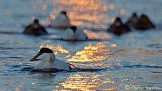 A flock of eider (Somateria mollissima). ©Markus VARESVUO