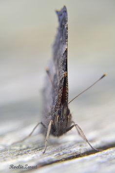 Dagpauwoog vlinder.