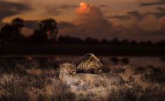 dusk and dawn – Bruna Photography Dusk Till Dawn, Lions, Wildlife, In This Moment, Photography, African, Lovers, Image, Lion