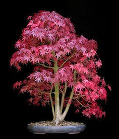 Bonsai styles are different ways of training your bonsai to grow the way you want it to. Get acquainted with these styles which are the basis of bonsai art. Bonsai Acer, Maple Bonsai, Bonsai Plants, Bonsai Garden, Garden Trees, Trees To Plant, Bonsai Trees, Ikebana, Bonsai Meaning
