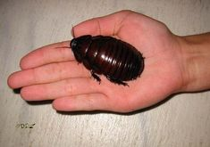 Giant Burrowing Cockroach: Australia The 16 Largest Insects In The World