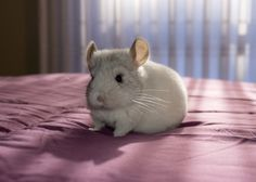 The Daily Chinchilla