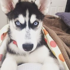 Hi, my name is Amber, my grandma is so in love with me that she will never stop taking me pictures  @amber__husky. #Amber #Husky #Puppy 4 months old