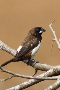 White-rumped Munia.Lonchura striata
