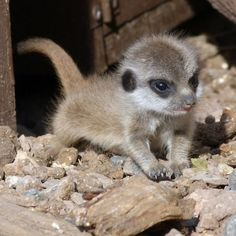 What's that? ... Quick before the hyenas cooooommme! #babymeercat