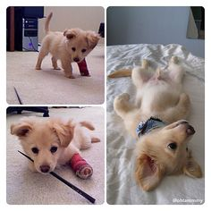 Golden Retrievers are one of the most honest dog breeds you'll ever encounter. They're very friendly, loving, intelligent, and are a fabulous pet. Chihuahua Mix Puppies, Baby Puppies, Cute Puppies, Cute Dogs, Animals And Pets, Baby Animals, Funny Animals, Cute Animals, Most Beautiful Animals