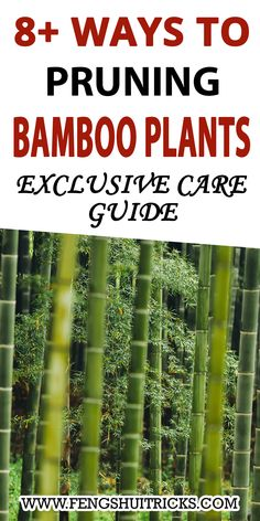 Pruning and Grooming Bamboo plant tips, Pruning And Thinning Bamboo for proper growth And best techniques to Cutting Lucky Bamboo plant to Trim It for New Plants growth. Pruning bamboo plants in pots? How To Topping Bamboo? How to pruning clumping bamboo? How to make bamboo grow thicker? and many more things. Bamboo In Pots, Lucky Bamboo Plants, Feng Shui Lucky Bamboo, Clumping Bamboo, Plant Growth, Potted Plants, Tips, Pot Plants, Container Plants
