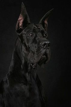 The most beautiful Great Dane (Dog angielski) I had ever seen :)) Great Dane Dogs, I Love Dogs, Cute Dogs, Beautiful Dogs, Animals Beautiful, Black Animals, Cute Animals, Black Great Danes, Dane Puppies