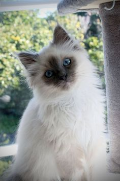 Quiet Cat: A Guide To Naturally Quiet Breeds & Training Your Cat To Be Quiet : Quiet Cat Breeds: Birman Birman Kittens, Cute Cats And Kittens, Siamese Cats, Cool Cats, Kittens Cutest, Pretty Cats, Beautiful Cats, Animals Beautiful, Animals And Pets