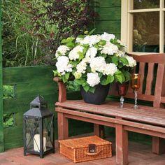 ber ideen zu hortensien kaufen auf pinterest. Black Bedroom Furniture Sets. Home Design Ideas