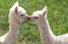 Awe! kissing llamas!