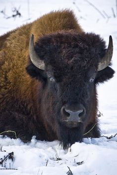 Wary Buffalo Photograph  - Wary Buffalo Fine Art Print