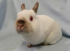 Smedley is a gentle, affectionate, adorable dwarf rabbit. He is available for adoption at TAS South! Ask for animal ID A620486